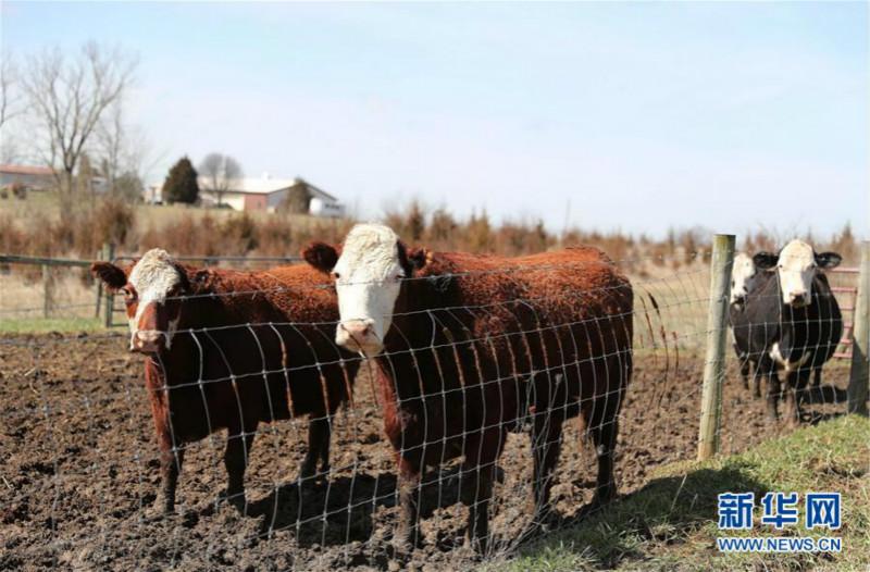 4月19日在美国伊利诺伊州威尔县沃里克农场拍摄的牛圈 meitu 3